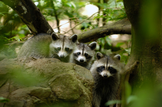 famille de ratons-laveurs dans le parc d
