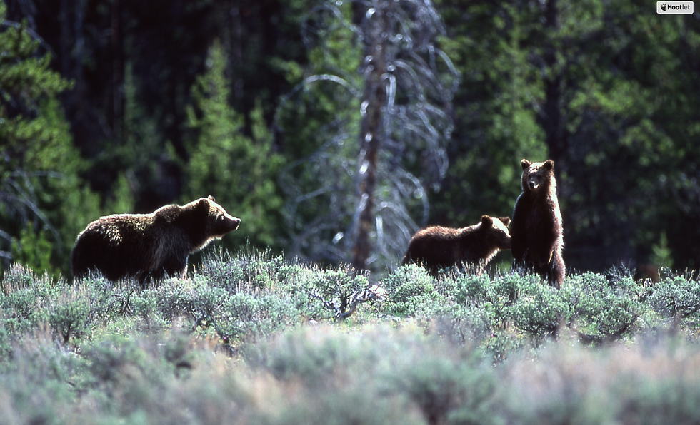 NPS_Grizzlies_Yellowstone.png
