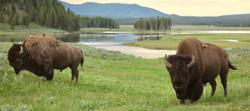 WildBison_Yellowstone_RoadrunnerExpediti