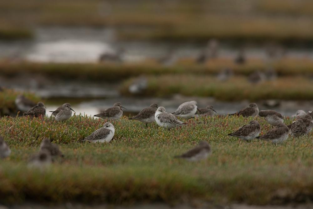 Aves Playeras en el Estuario del Rio Gallegos