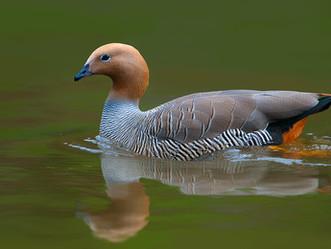 Ruddy-headed Goose: a species in critical danger of extinction