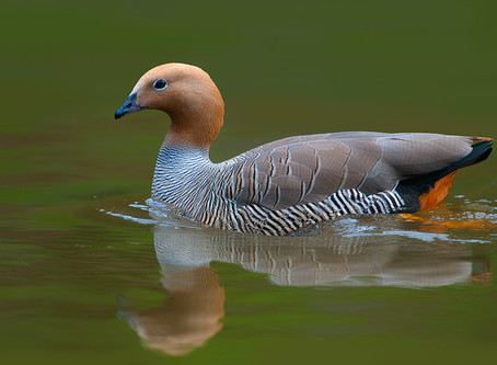 Ruddy-headed Goose: a species in critical danger of extinction