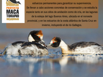 Avanza el Proyecto Macá Tobiano para la conservación del ave santacruceña