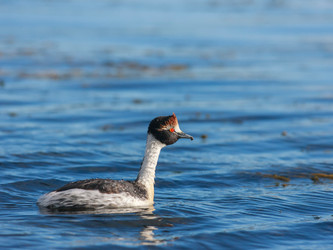 Tobiana passion- Simultaneous censuses of the Hooded Grebe continue