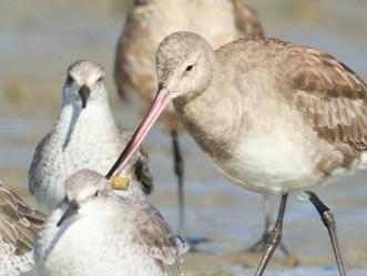 Cuidar las aves playeras es una responsabilidad de todos