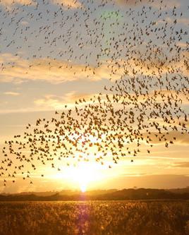 Secrets of the Starling Murmuration Phenomenon