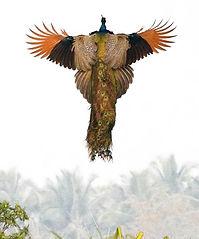 Peacock Rising Mayur Naturals