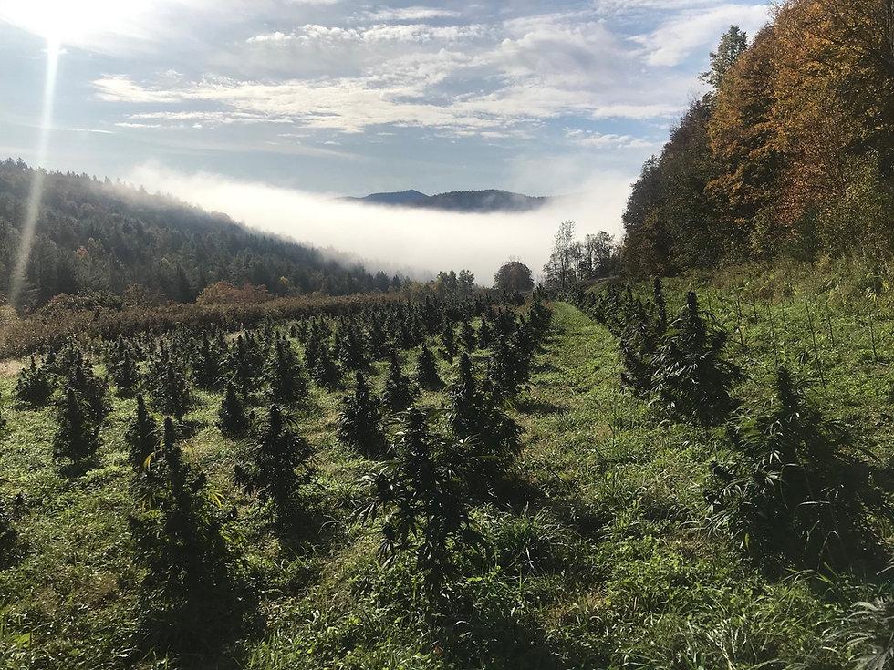 Buy CBD Flower Online In Vermont