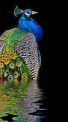 Peacock Mayur Naturals