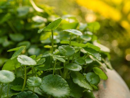 Centella asiática: la planta terapéutica.