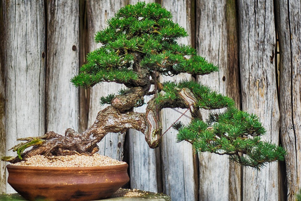 kiero.co | cuidar un bonsai