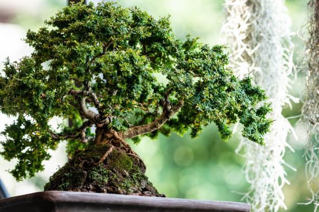 kiero.co | bonsai | cuidados
