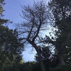 Taking down a dangerous pine tree hangin