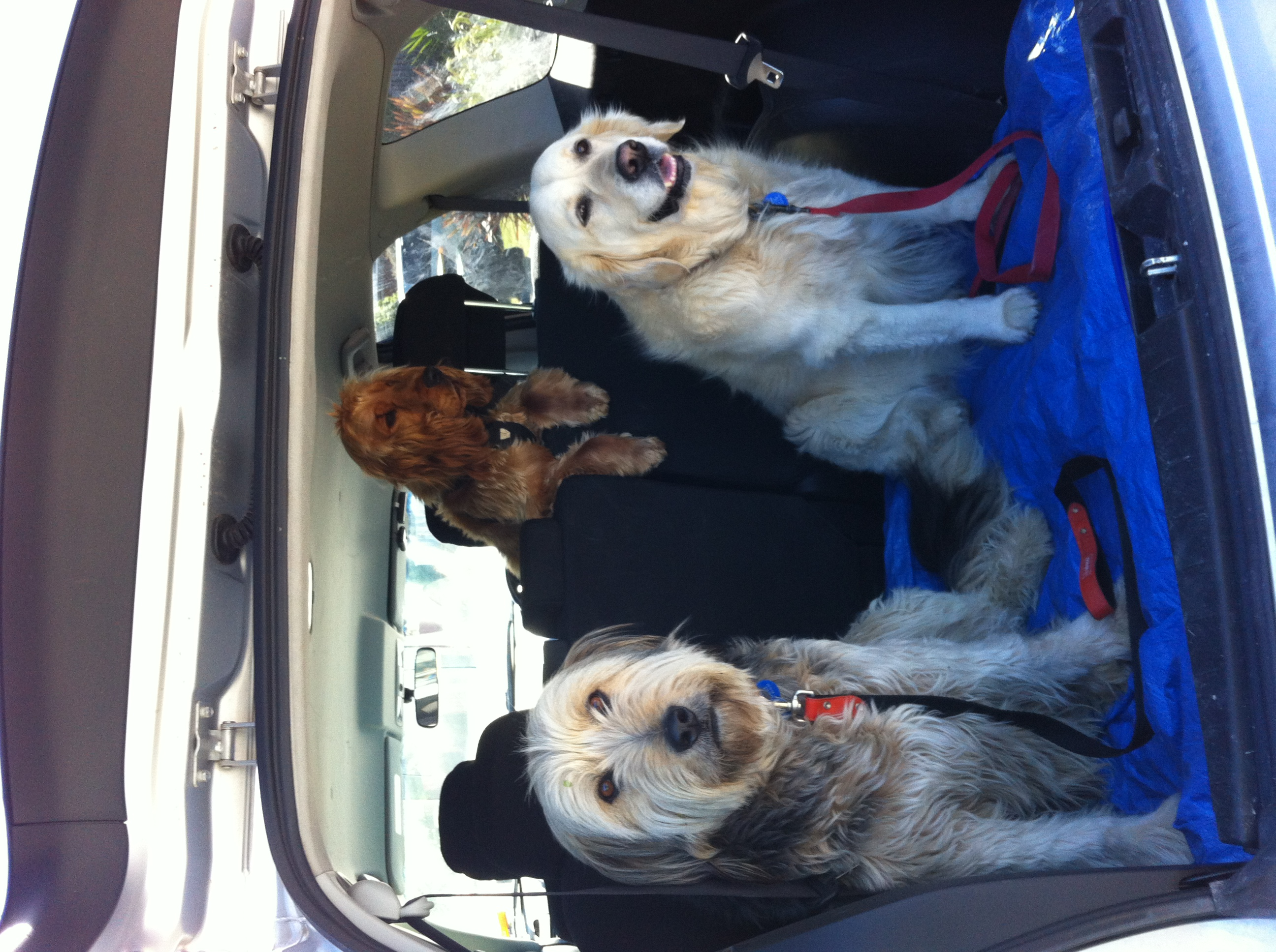 Doggies all ready for their walk