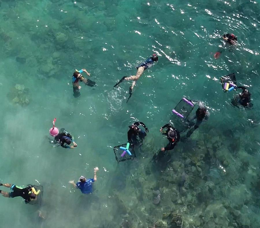 Voluntarios de Mercy Corps y Bacardí se unieron a Sociedad Ambiente Marino y colectaron fragmentos de coral en la playa Tamarindo de Culebra. (Suministrada)