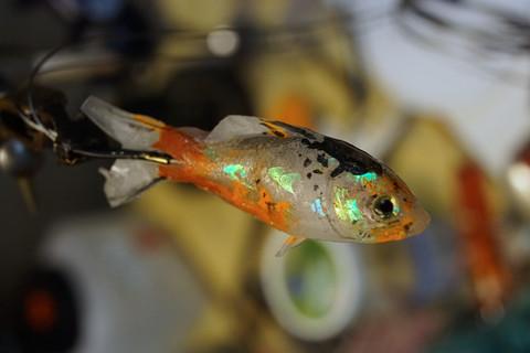 Goldfischmodell, für Rider Jack 2014