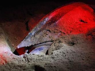 Se reportan 787 nidos de tinglares en Puerto Rico