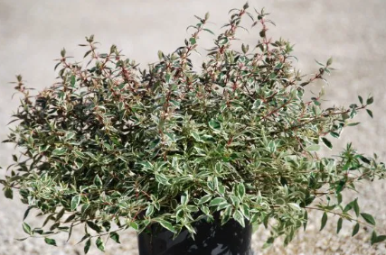 ABELIA Grandiflora Variegata