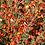 Thumbnail: CYTISUS (Ginestra dei carbonai)