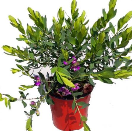 POLYGALA Myrtifolia (Poligala)