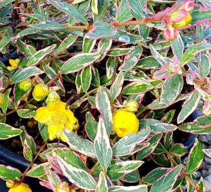 HYPERICUM Moserianum Tricolor (Iperico tricolore)