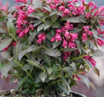 WEIGELA Florida Nana Purpurea (Veigelia)