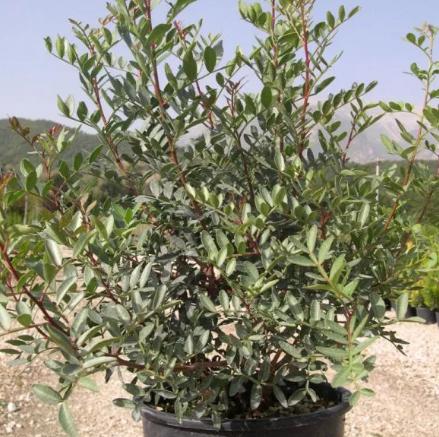 PISTACIA Lentiscus (Lentisco)