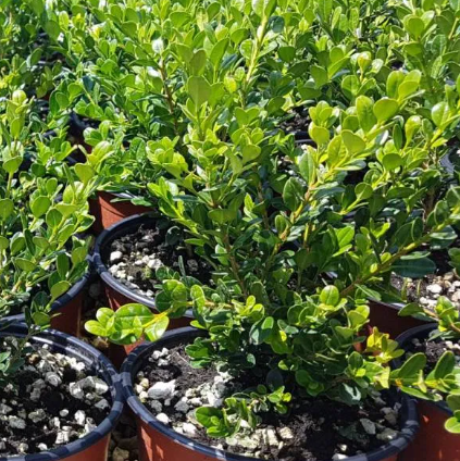 BUXUS Microphylla Faulkner (Bosso)