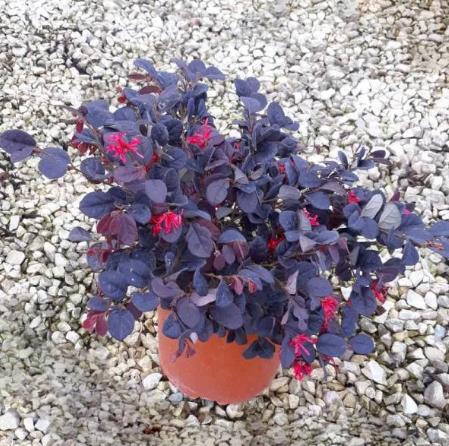 LOROPETALUM Chinense Black Pearl® (Loropetalo)