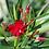 Thumbnail: NERIUM Oleander (Oleandro)