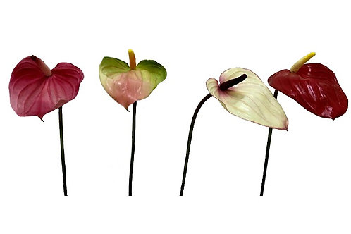 SINGLE ANTHURIUM