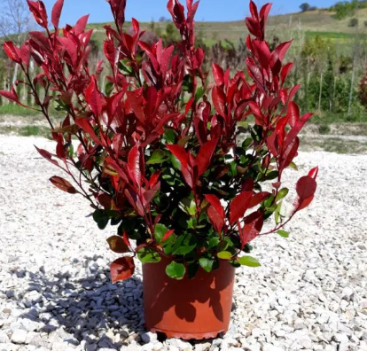 PHOTINIA Red Robin Nana