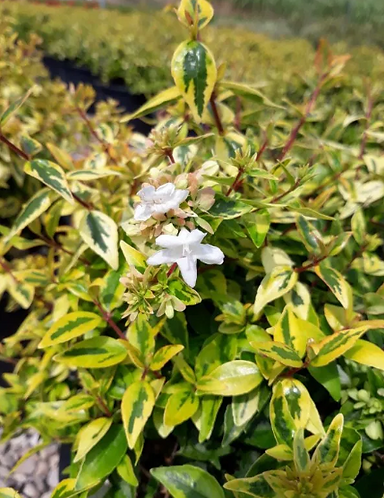 ABELIA Grandiflora Variegata Gialla