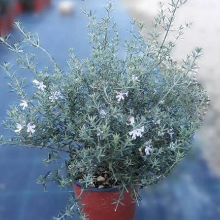 WESTRINGIA Fruticosa Blue (Falso Rosmarino)