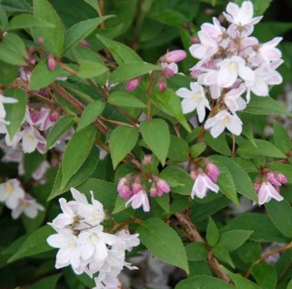 DEUTZIA Hybrida Monte Rose