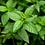 Thumbnail: FRESH PEPPERMINT TONER – FLOWER COLLECTION