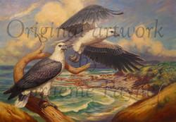 'White-bellied Sea Eagles'