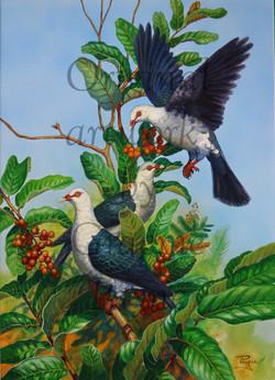 'White-headed Pigeons'