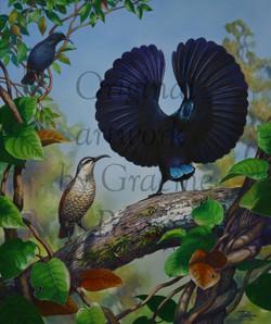 'Paradise Riflebirds' - SOLD