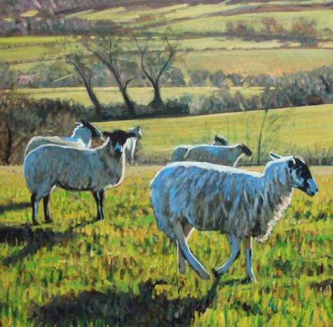 Morning sheep with shadows