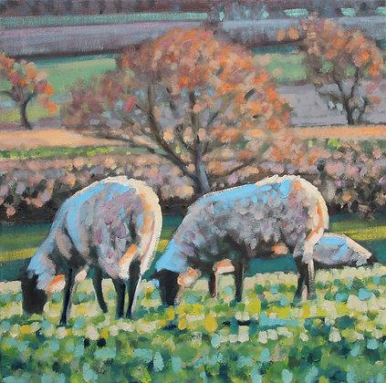 Sheep, Autumn light