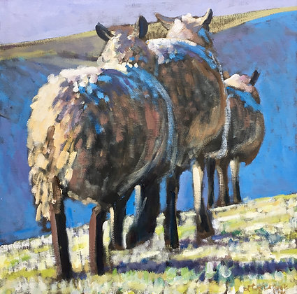Three sheep, morning frost