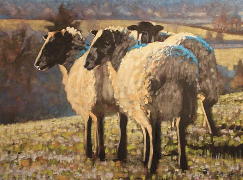 Three morning sheep