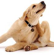 04253-Yellow-Labrador-scratching-its-nec