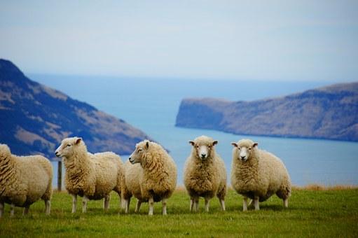 ニュージー羊景色