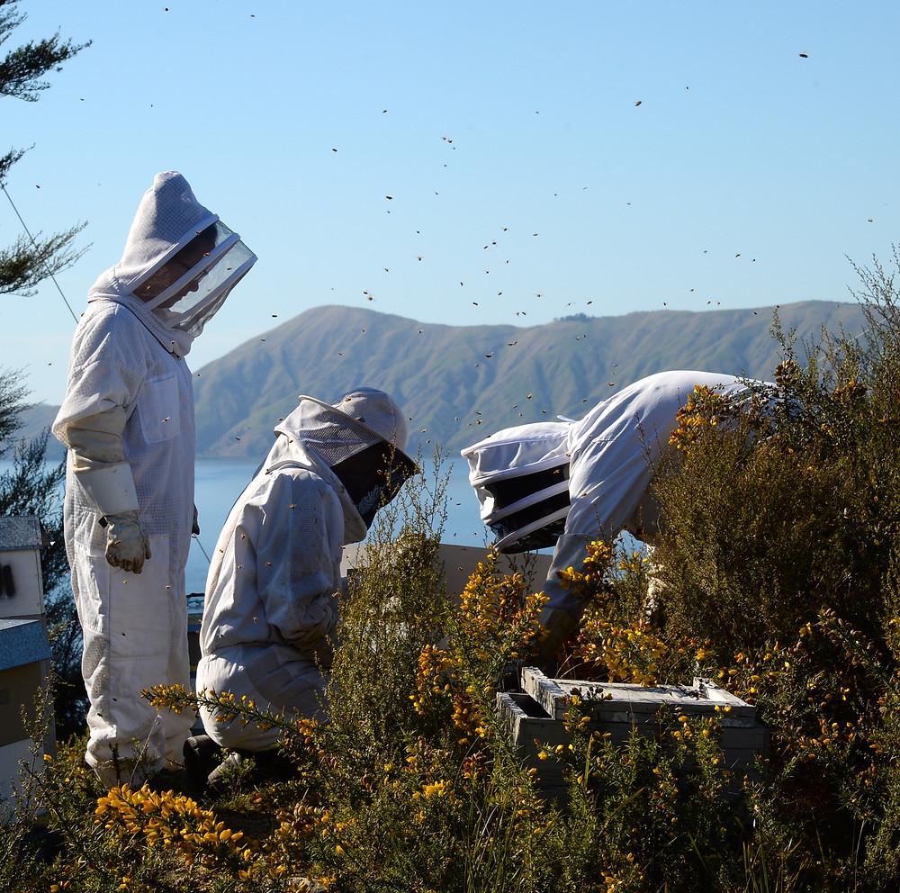 ニュージーランドでの養蜂作業