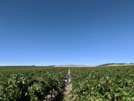 Castoro Cellars Vineyards (1).jpg