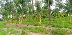 Implantação agrofloresta - Mococca