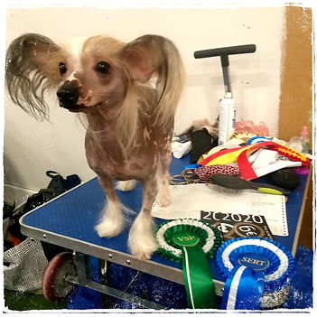 chinese crested dog Lilla Wanillas A-Class Slim Shady