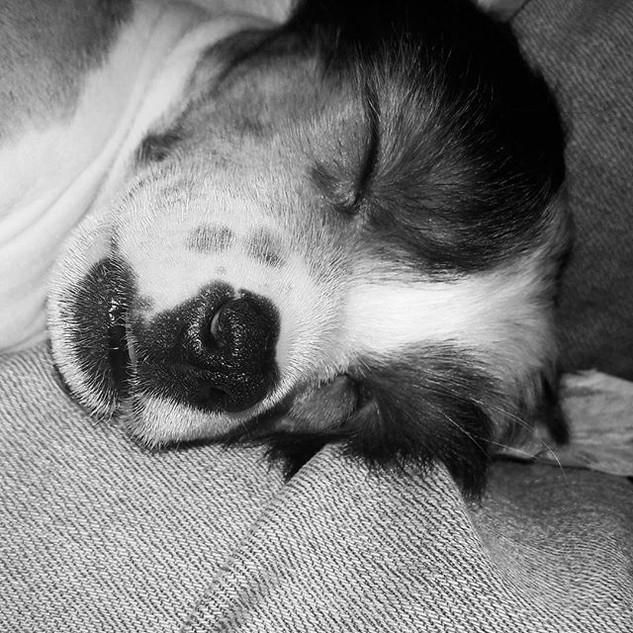 #chinesecrested #puppydog #puppysleeping